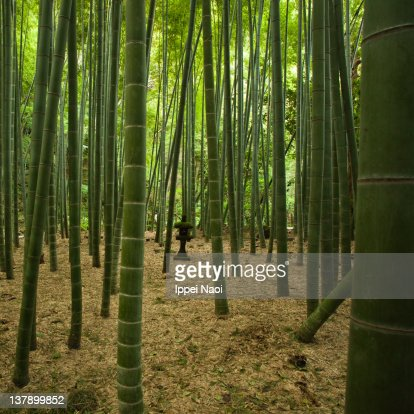 Giant bamboo forest with stone lantern, Japan : Foto de stock