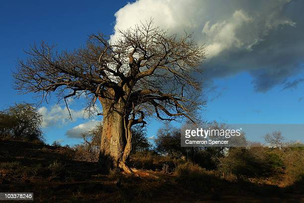 A giant Baobab tree at the Pafuri game reserve on July 22 2010 in Kruger National Park South Africa Kruger National Park is one of the largest game...