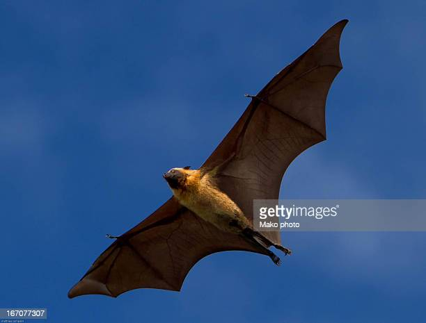 Giant bat inflight