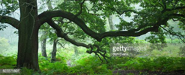 Giant branches of spreading oak Cannock Chase AONB