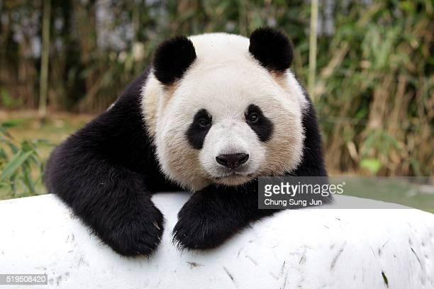 Giant chinese panda Ai Bao rests at Everland amusement park on April 7 2016 in Yongin South Korea South Korean amusement park Samsung Everlan...