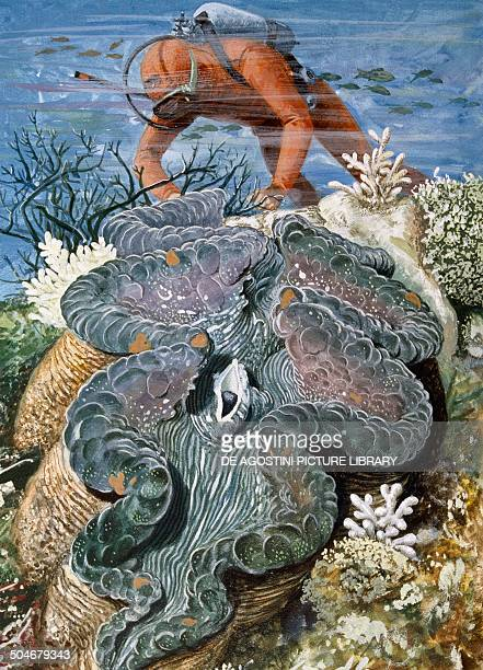 Giant Clam Photos et images de collection | Getty Images