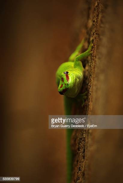 Giant Day Gecko On Wall