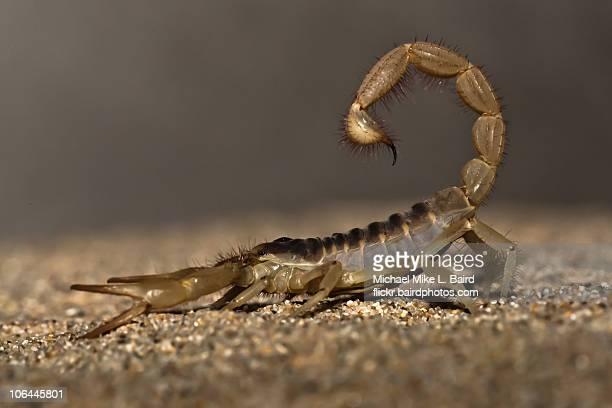 Giant desert hairy scorpion (Hadrurus arizonensis)