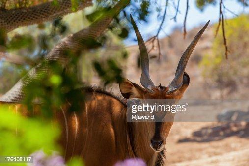 Giant Eland antelope : Stock Photo
