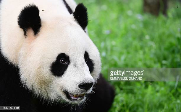 Giant female Panda Wu Wen discovers her new enclosure during an official unveiling ceremony at Ouwehands Zoo on May 30 2017 in Rhenen Wu Wen and male...