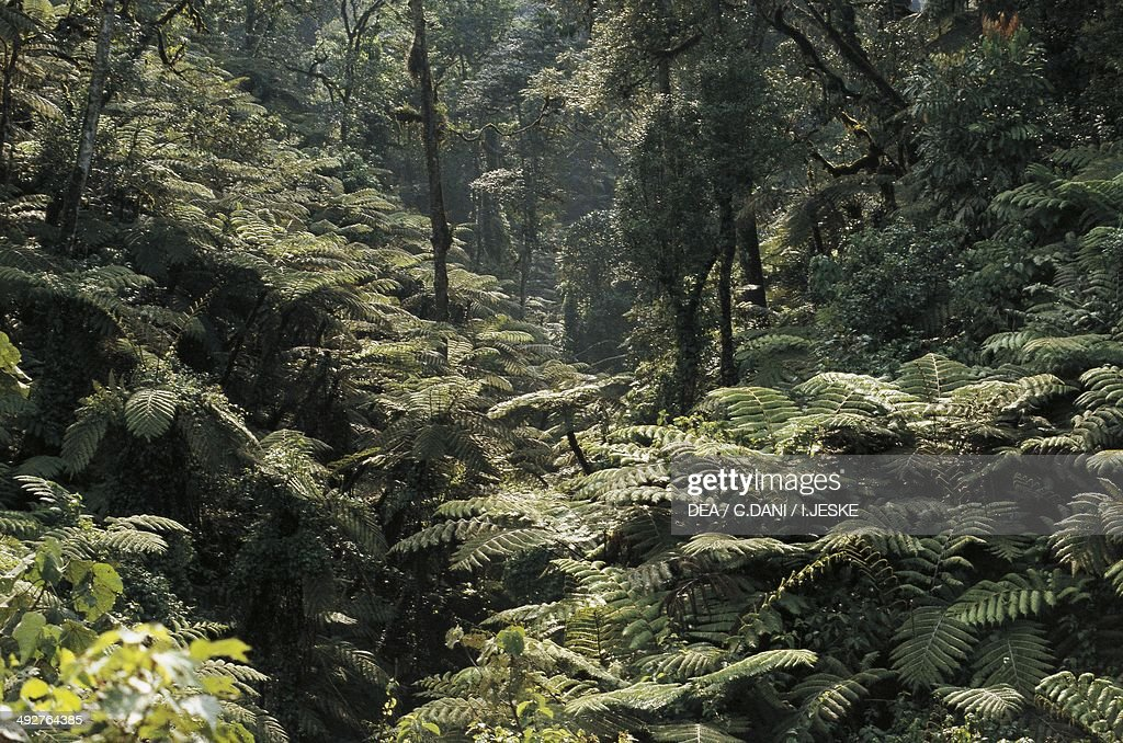 Giant Ferns foggy rainforest Democratic Republic of the Congo
