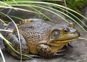 It was October in the Pacific Northwest and frogs are usually gone from my pond. Then on October 17 this Giant frog appeared. I know frogs come in all sizes but this is the largest frog I have ever se