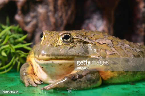 Giant Frog : Stock Photo