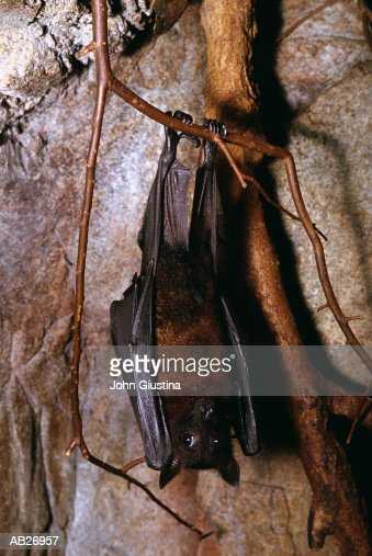 Giant Fruit Bat (Pteropus giganteus) : Stock Photo
