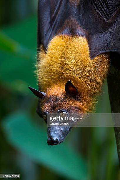 grapple fruit giant fruit bat