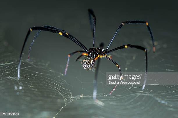 A giant golden orb weaver with a bee in its mouth