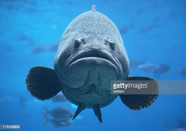 Giant goliath grouper in blue water