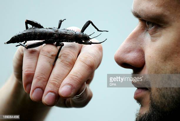 A Giant Grasshopper and biologist Volker Gruen face off as he is taking stock at the zoo in Duisburg Germany on January 7 2013 AFP PHOTO / HORST...