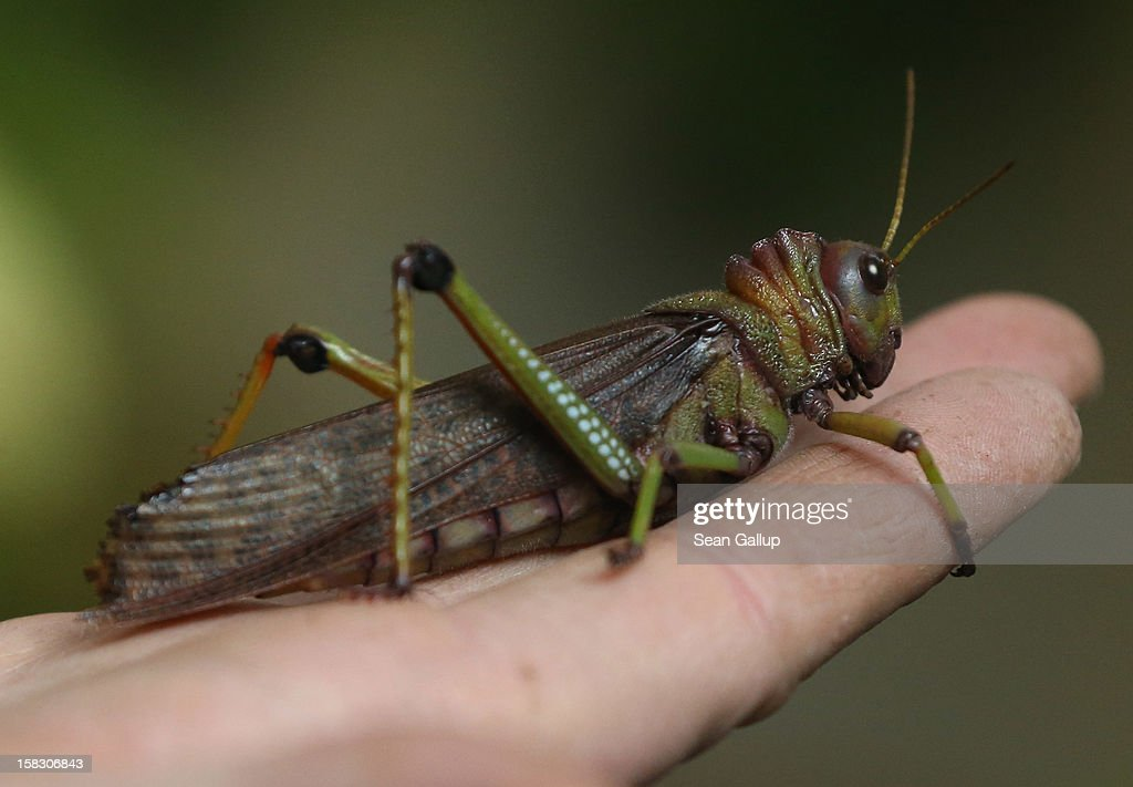 A giant grasshopper rests on the hand of a zookeeper during the annual animal inventory at Zoo Berlin zoo on December 12 2012 in Berlin Germany The...