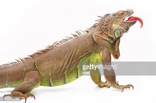 Giant green iguana