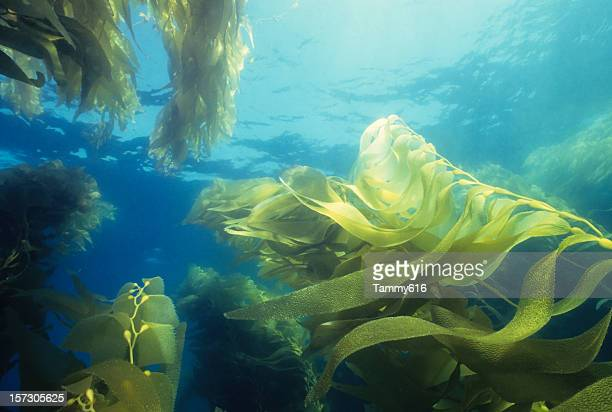 Giant Green Kelp Forest