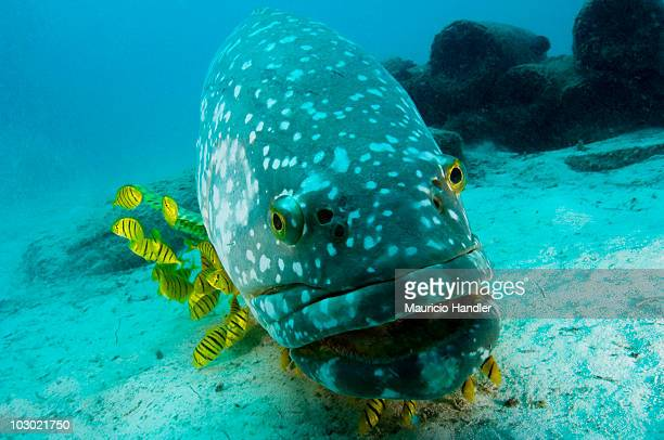 A giant grouper, Epinephelus lanceolatus, with golden Trevally jacks.