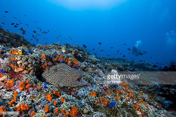 Giant Honeycomb Moray with diver in the background