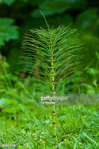 Giant Horsetail with whorled leaves & jointed stem