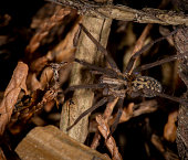 Giant house spider - Eratigena atrica in a UK garden during the Autumn
