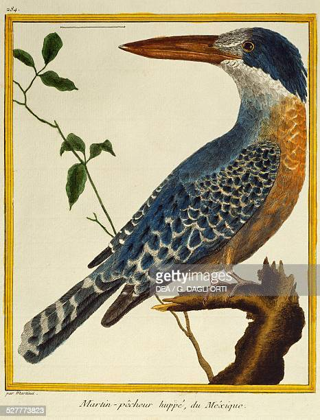 Giant Kingfisher from the Histoire naturelle des oiseaux 17651783 by FrancoisNicolas Martinet France 18th century