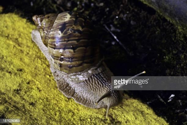 A giant land snail slithers in the Ecuadorean Yasuni National Park Orellana province Ecuador on November 12 2012 The Yasuni National Park contains...