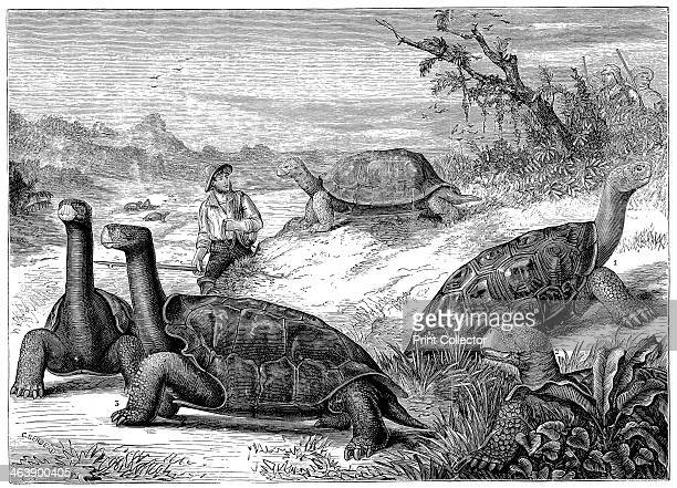 Giant Land Tortoises of the Galapagos Islands1884 Darwin's study of the fauna of the Islands contributed to his theory of evolution Wood engraving