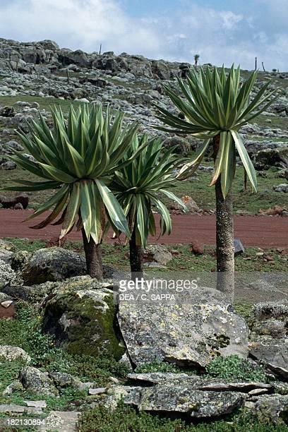 Giant lobelia Lobeliaceae Bale Mountains National Park Ethiopia