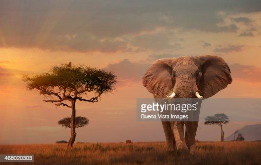 Giant Male  elephant (Loxodonta africana) at sunse