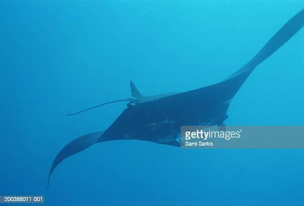 Giant manta ray (Manta birostris), rear view, underwater view