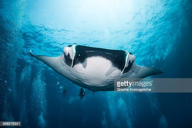 Giant Manta Ray swims among bubbles
