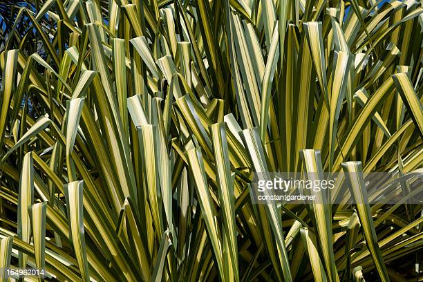 Japanese silver grass stock photos and pictures getty images for Giant ornamental grass