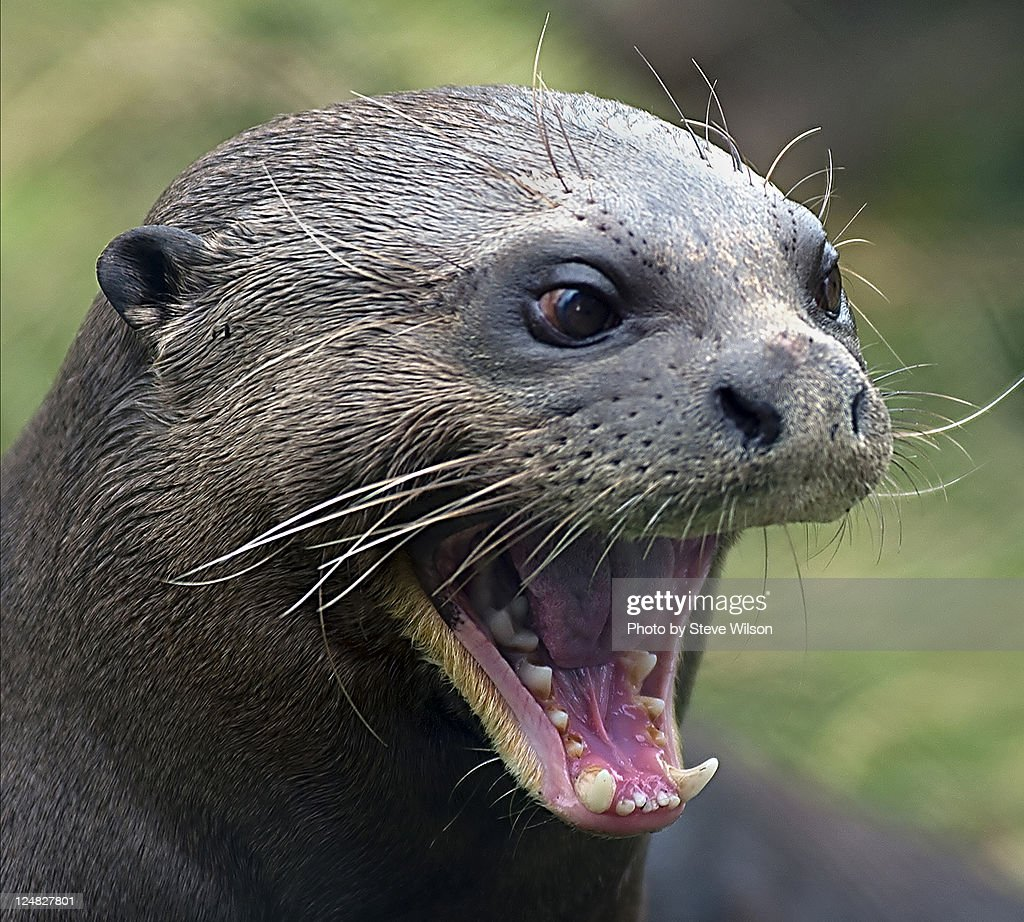 Giant Otter at Chester Zoo : Stock Photo