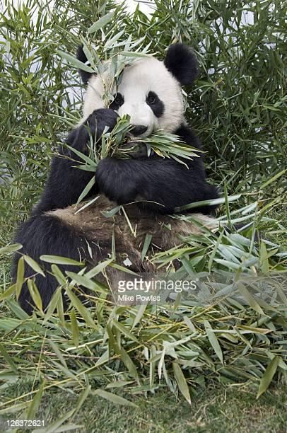 Giant Panda, Ailuropoda melanoleuca, Adult eating bamboo, Wolong Giant Panda Research Center, Wolong National Nature Reserve, China, captive