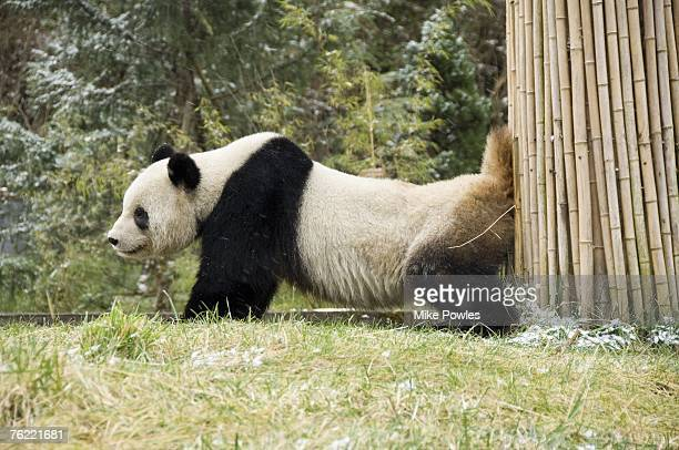 Giant Panda, Ailuropoda melanoleuca, Adult scent marking, Wolong Giant Panda Research Center, Wolong National Nature Reserve, China, captive