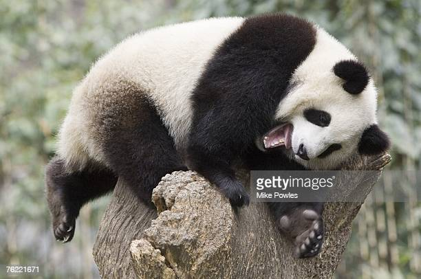 Giant Panda, Ailuropoda melanoleuca, juvenile in tree relaxing and laughing, Wolong Giant Panda Research Center, Wolong National Nature Reserve, China, captive
