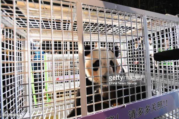 A giant panda arrives at the Chengdu Research Base of Giant Panda Breeding on June 6 2017 in Chengdu Sichuan Province of China Pandas called Yang...