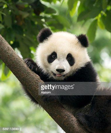 Giant Panda baby cub in Chengdu area, China