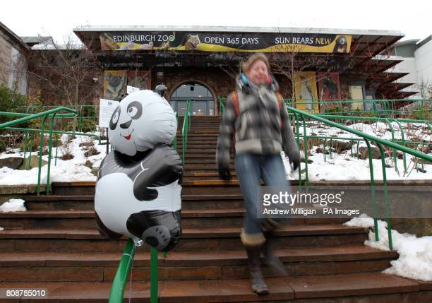 A giant panda balloon at the entrance at Edinburgh Zoo after it was announced giant pandas Tian Tian and Yangguang a breeding pair born in 2003 will...