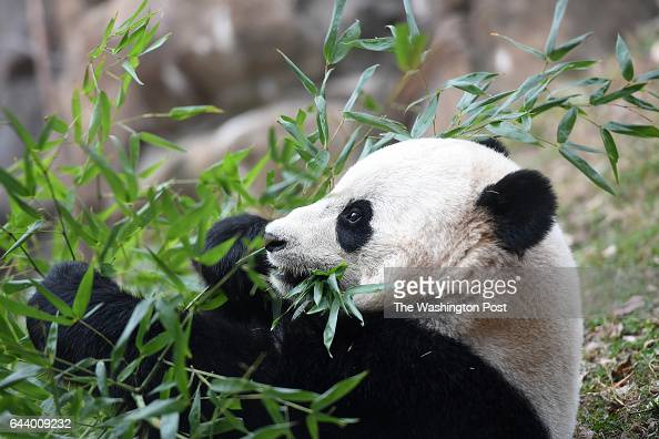 Giant Panda Bao Bao eats bamboo at the Smithsonian National Zoological Park on Tuesday February 21 2017 in Washington DC Bao Bao was transported from...