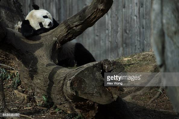 Giant panda Bao Bao naps in her outdoor habitat at the Smithsonian's National Zoo February 21 2017 in Washington DC Bao Bao is departing for Chengdu...