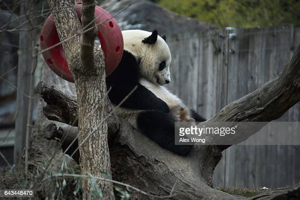 Giant panda Bao Bao sits in her outdoor habitat at the Smithsonian's National Zoo February 21 2017 in Washington DC Bao Bao is departing for Chengdu...