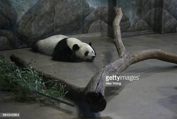 Giant panda Bao Bao sleeps in her enclosure at the David M Rubenstein Family Giant Panda Habitat of the Smithsonian National Zoological Park on the...
