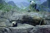 Giant panda bear cub Bao Bao and her mother Mei Xiang move around inside the David M Rubenstein Family Giant Panda Habitat at the Smithsonian...