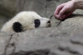 Giant panda bear cub Bao Bao inspects a keeper's hand inside the David M Rubenstein Family Giant Panda Habitat at the Smithsonian National Zoological...