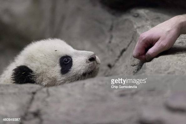 Giant panda bear cub Bao Bao inspects a keeper's hand inside the David M Rubenstein Family Giant Panda Habitat at the Smithsonian National Zoological...