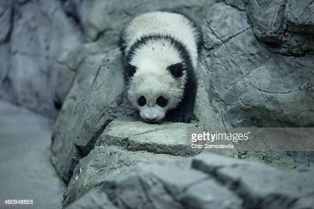 Giant panda bear cub Bao Bao moves around inside the David M Rubenstein Family Giant Panda Habitat at the Smithsonian National Zoological Park...