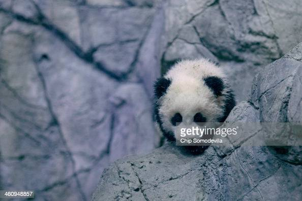 Giant panda bear cub Bao Bao moves around inside the David M Rubenstein Family Giant Panda Habitat at the Smithsonian National Zoological Park...