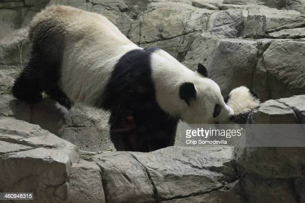 Giant panda bear Mei Xiang grabs her cub Bao Bao by the nape of the neck inside the David M Rubenstein Family Giant Panda Habitat at the Smithsonian...